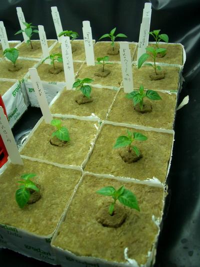 Выращивание на базальтовой вате 97