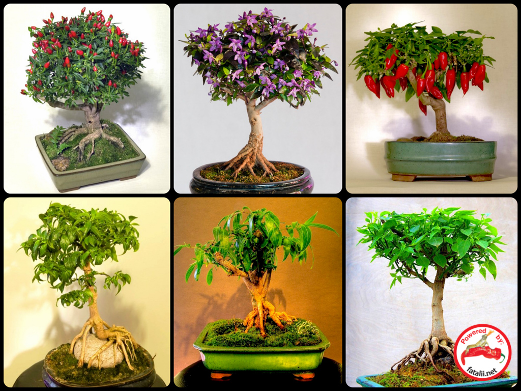 Fataliis Growing Guide Bonsai Chiles Bonchi Wiring Styles What Can Be More Creative And Versatile Hobby Art Than A Chile Pepper From Seed To Tree