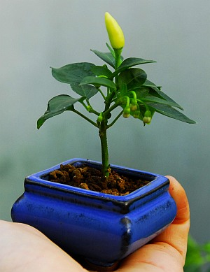 Fatalii 39 s growing guide bonsai chiles bonchi What are miniature plants grown in pots called