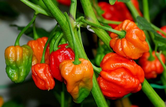 Køb stærk chili københavn