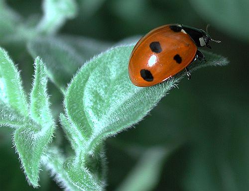 Ladybug on a Galapagoense