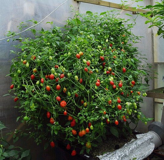 Fatalii S Growing Guide How To Build Ebb Amp Flood