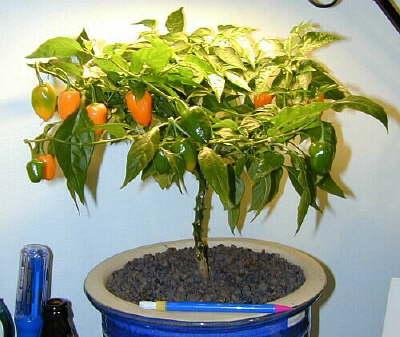 Fatalii S Growing Guide Bonsai Chiles