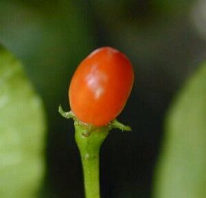 C. praetermissum pod