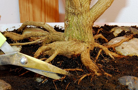 Fatalii 39 s growing guide bonsai chiles bonchi for How to make an olive tree into a bonsai